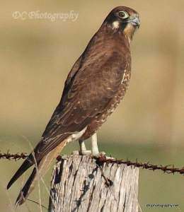 brown-falcon_0054a14-BB