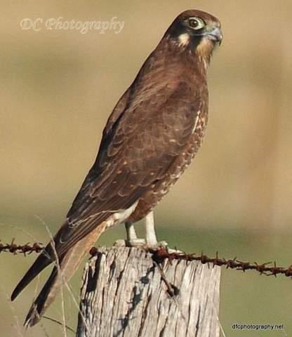 brown-falcon_0054a14-BB