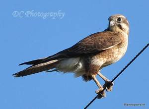 brown-falcon_0092