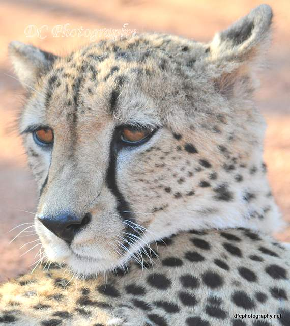 Cheetah_0043