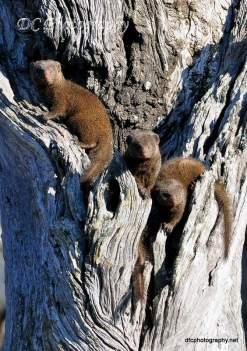 dwarf-mongoose_0035B