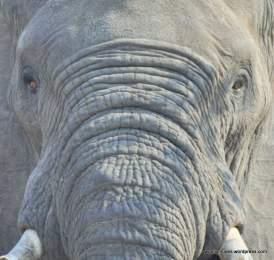 Elephant - Kruger National Park