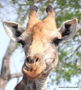 Giraffe - Kruger National Park