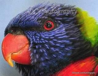 Rainbow Lorikeet - Geelong