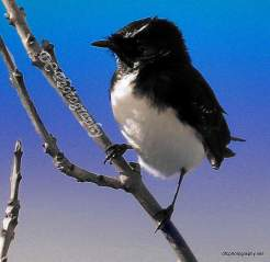 Willie Wagtail_0013f8