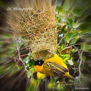 Yellow Weaver_0177
