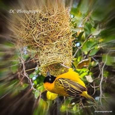 Yellow Weaver_0177