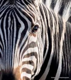 Zebra - Kruger National Park