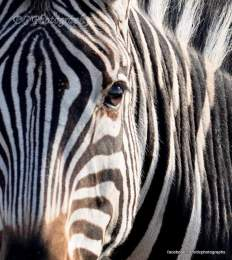 Zebra - Kruger National Park