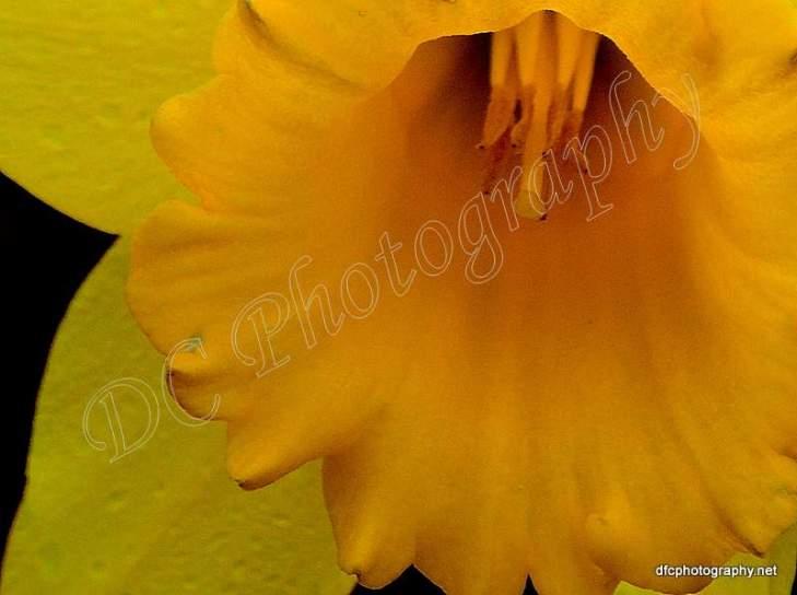 Daffodil_0748