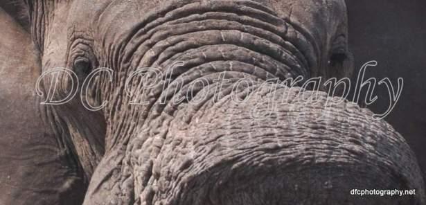 Elephant_0086a