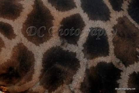 Giraffe_0472