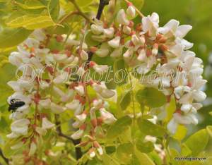 Golden Robinia