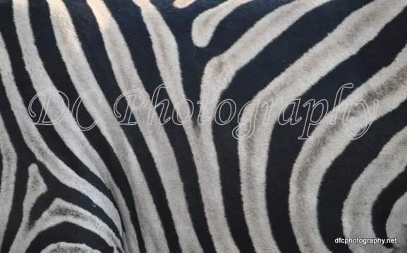 Zebra_0044