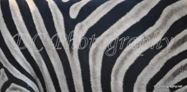 Zebra_0045