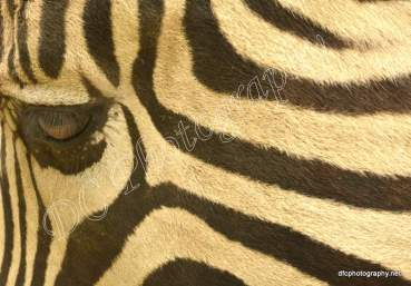 Zebra_5463