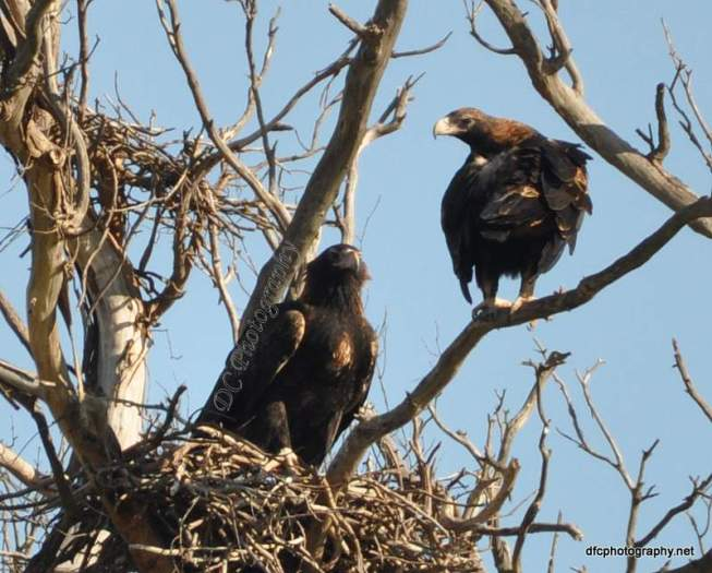 Wedge Tail Eagle_0005a