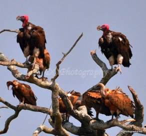 Vulture Tree_06392
