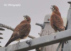 Brown Falcon_0208