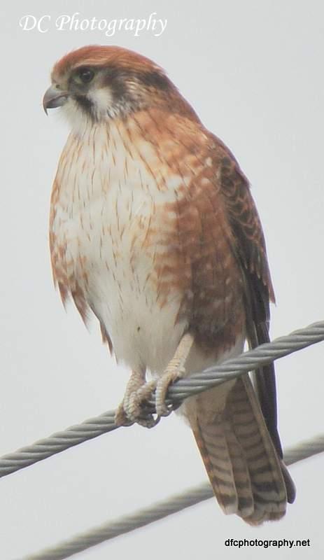 Brown Falcon_0224