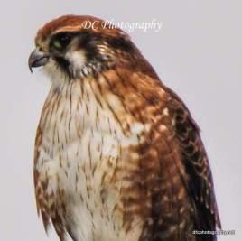 Brown Falcon_0224b