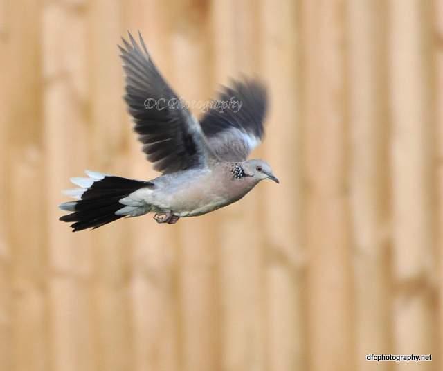 Pigeon_0100