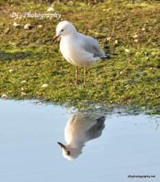 Seagull_0161