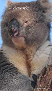 Koala_0197