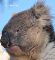 Koala_0199