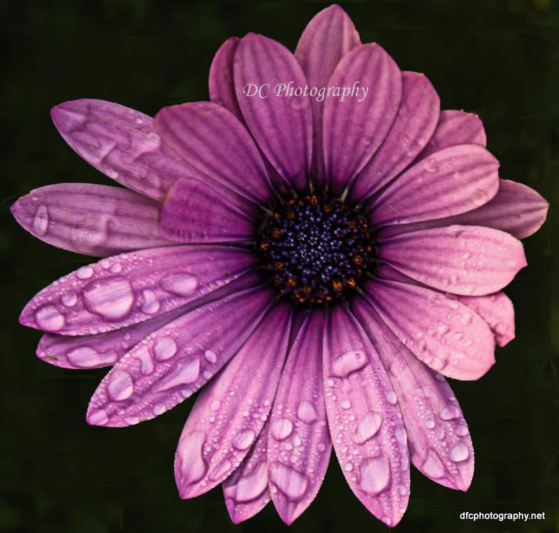 PurpleDaisy_7287