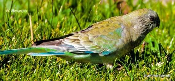 Red-Rump-Parrot_0112