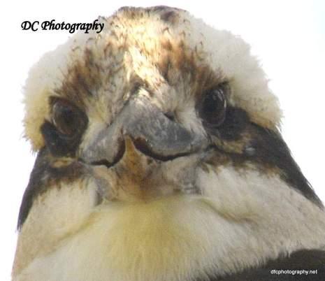 Kookaburra_7450