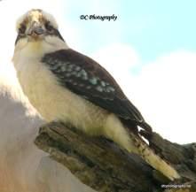 Kookaburra_74501