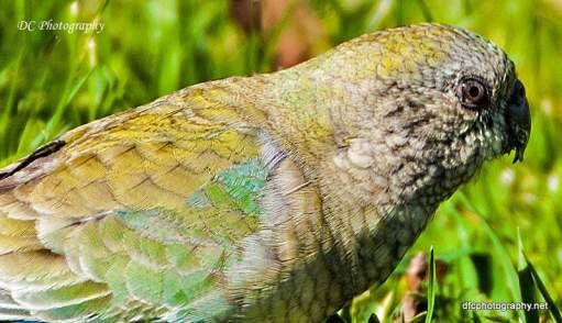 Female-Red-Rump-Parrot_0112