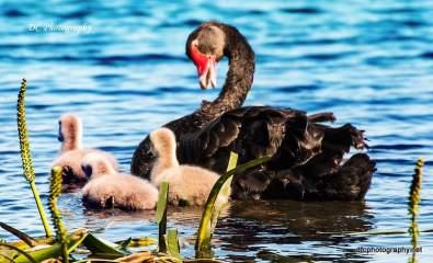 Swans_0012