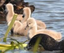Swans_0014