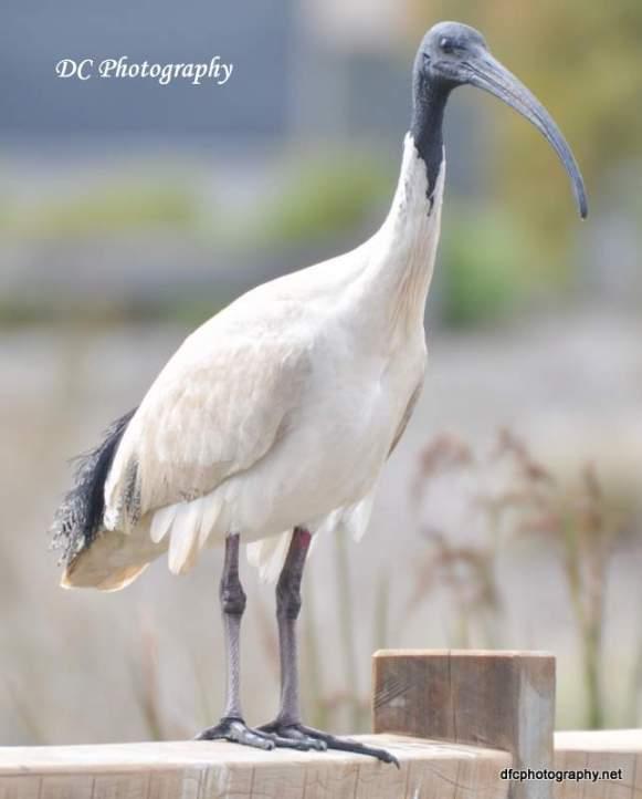 Australian White Ibis8_0013