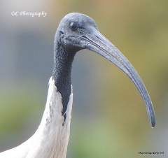 Australian White Ibis8_0013a