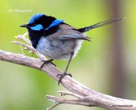 superb_blue-wren_0146