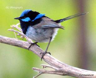 superb_blue-wren_0146