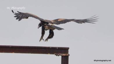 wedge-tail-eagle_0043