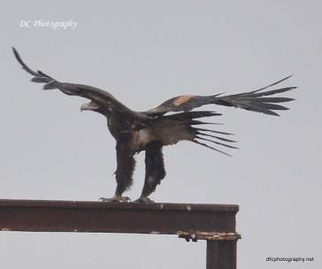 wedge-tail-eagle_0044