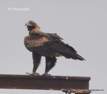 wedge-tail-eagle_0045
