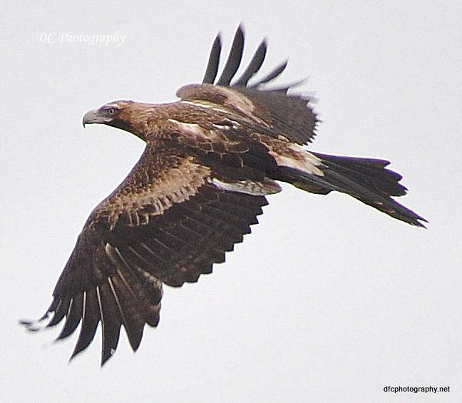 wedge-tail-eagle_0063