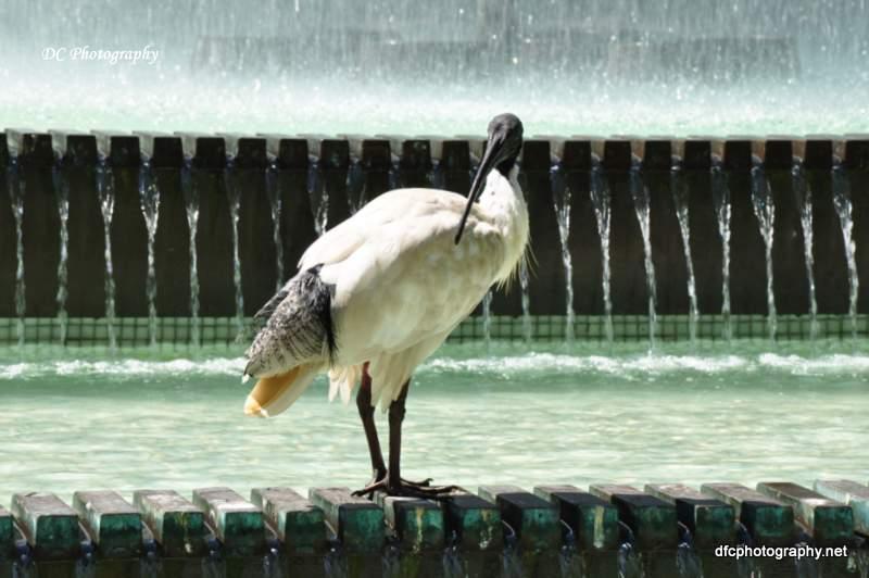 ibis_0554