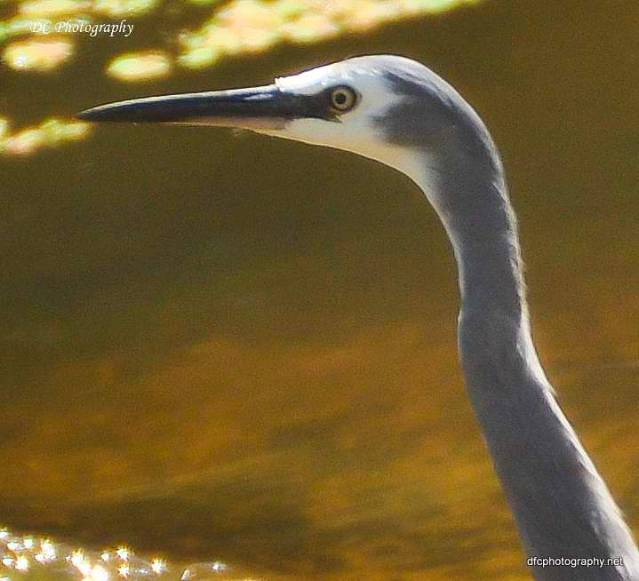 white-face-heron_0819a