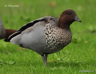 Wood-or-Maned-Duck_0008
