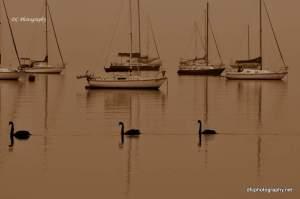 Corio-Bay-Swans_0035