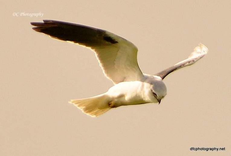Black-Shouldered_Kite_0065