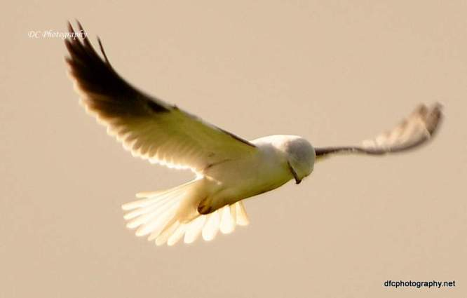 Black-Shouldered_Kite_0069
